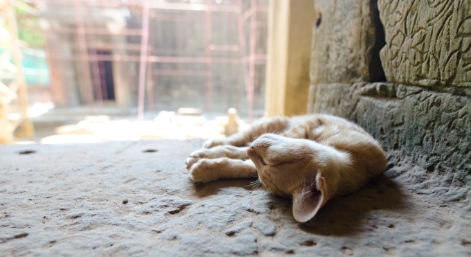 Cat napping at Ta Phrom > Cambodia > TheRoamingNoodle