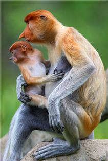 proboscis_monkey_pict03