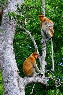 Proboscis monkeys Labuk Bay Proboscis Monkey Sanctuary > TheRoamingNoodle
