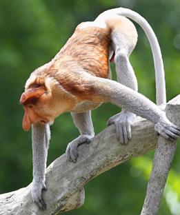 proboscis_monkey_pict05